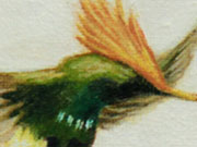 Coqueta Crestirrufa